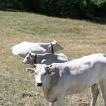 Vacche Chianina Allevamento Val d'Ozola