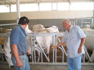 Alimentazione Biologica Vacche Chianine
